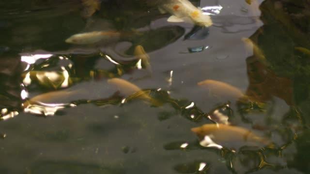 goldfische schwimmen in den teichen. - karotte peace stock-videos und b-roll-filmmaterial