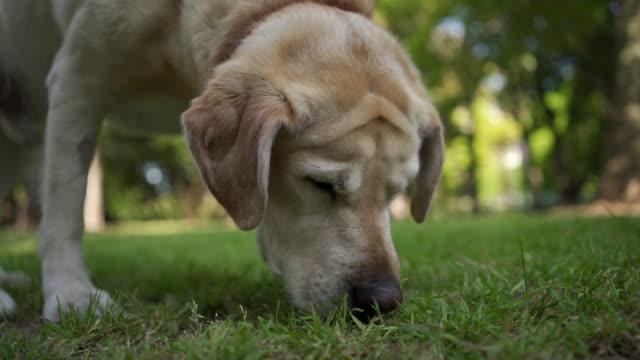 altın kürklü labrador park çim etrafında yürüyüş - kokulu stok videoları ve detay görüntü çekimi