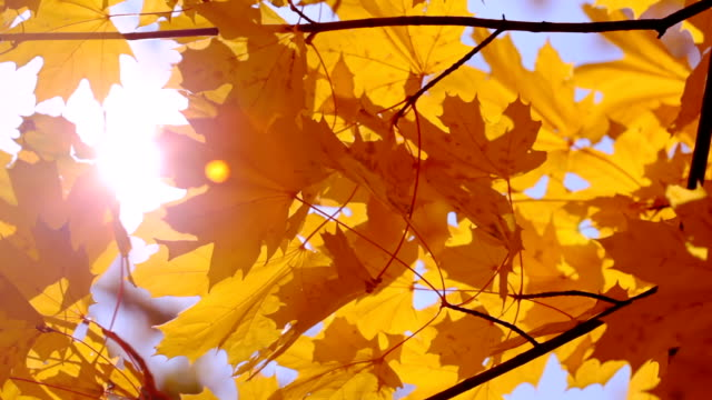Gold Maple Leaves and Sun video