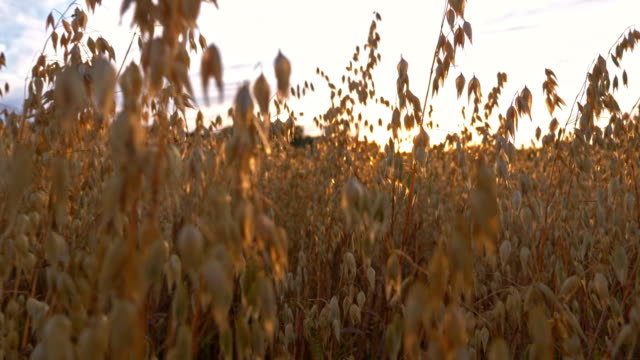 vídeos de stock e filmes b-roll de gold oats in sunlight at sunset field - oats