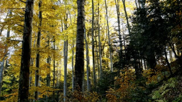 Golden autumn in the beech forest – film