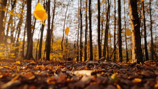 vídeos de stock, filmes e b-roll de ms super slow motion dourado outono deixa cair em floresta tranquila - setembro amarelo