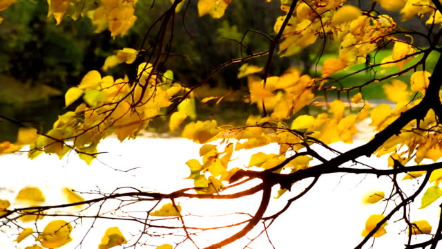 Golden autumn leaves sways in the wind over the water video