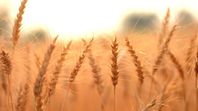 ゴールドの大麦フィールド - 大麦点の映像素材/bロール