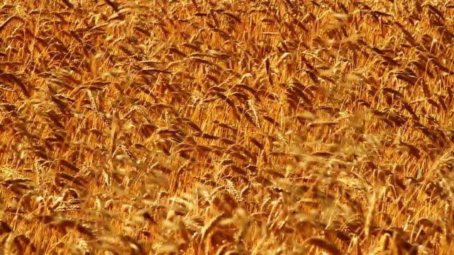 ゴールドの大麦手を振るでリラックス。スローモーションます。 - 大麦点の映像素材/bロール
