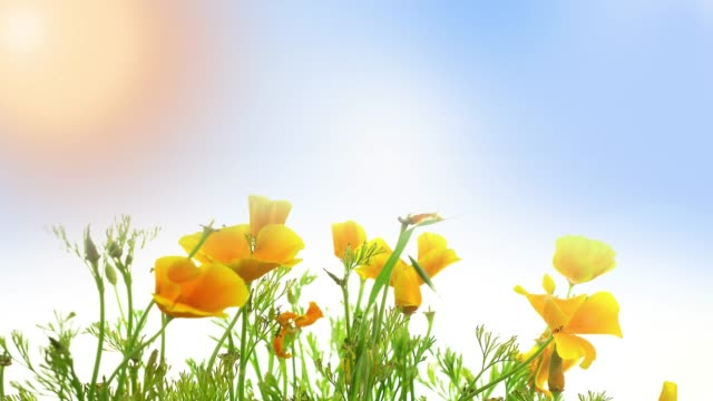 Golden California Poppy Flowers Blooming