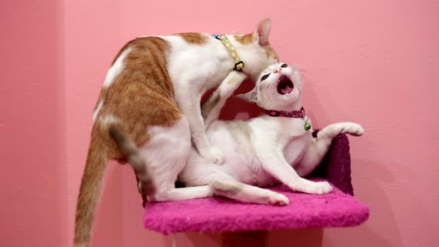 Golden cat bites on neck of grey cat. video