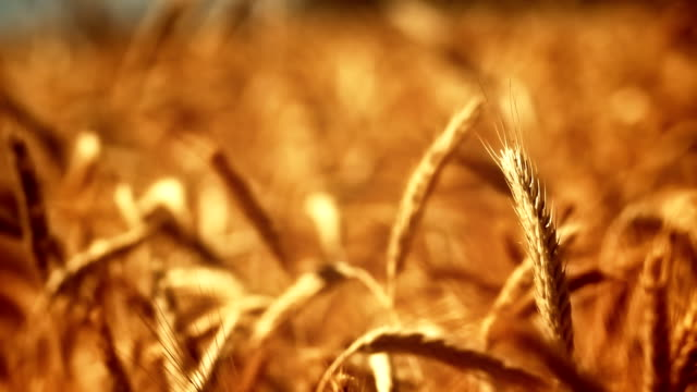 Golden crops in wind Swaying golden crops. Shallow depth of field. wheat stock videos & royalty-free footage