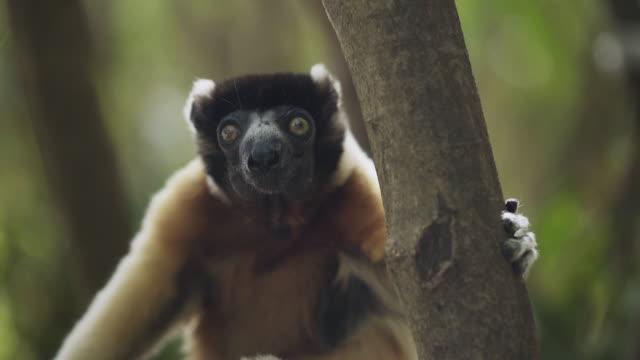 gyllene krönt sifaka.på bland trädtopparna - lemur bildbanksvideor och videomaterial från bakom kulisserna