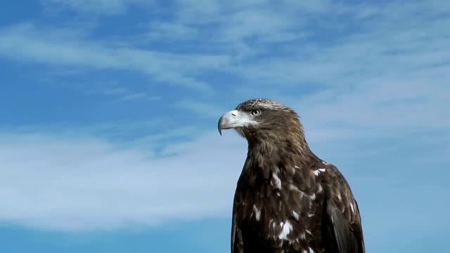 Golden Eagle Aquila Chrysaetos video
