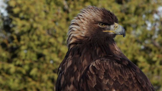 Golden Eagle close-up video