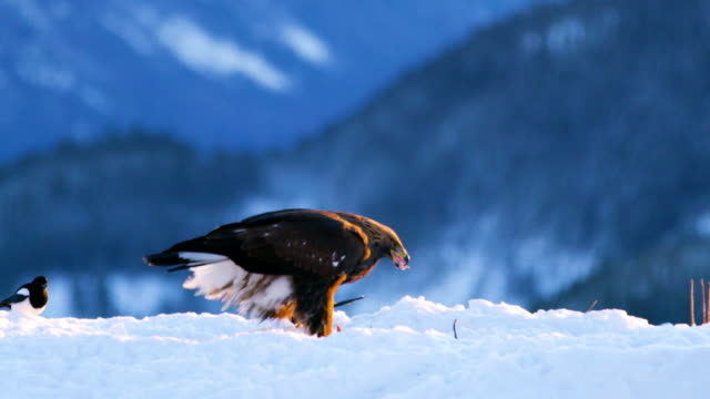 Golden eagle eats on a dead animal in the mountains at winter video