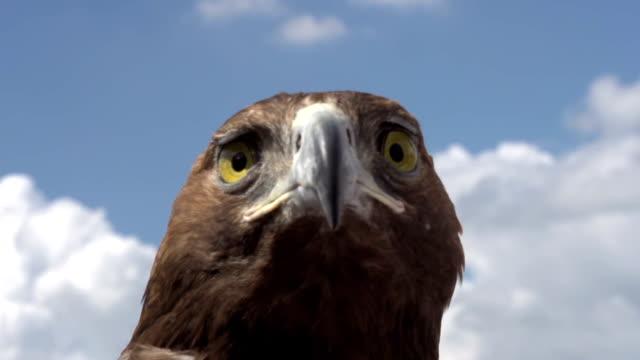 Golden Eagle Examines Area video