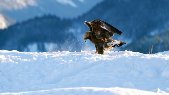 golden eagle landing in the snow at mountain peak at the winter - aquila video stock e b–roll