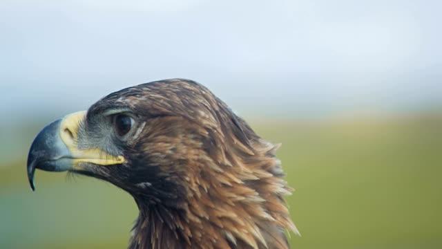 Golden Eagle Looks Around video