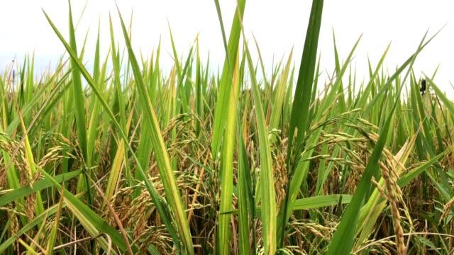 Golden ear of rice swinging on wind