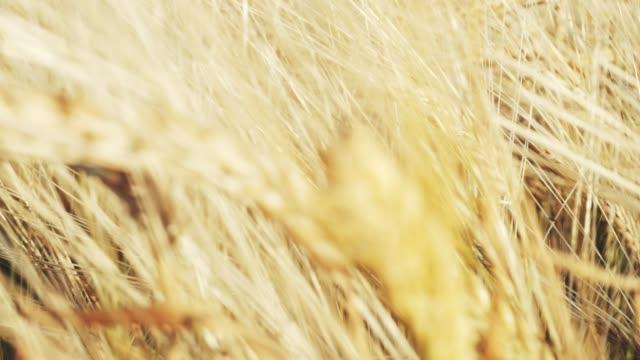 vidéos et rushes de golden ears de blé sur le terrain. - seigle grain