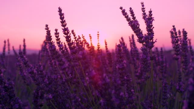 vídeos de stock e filmes b-roll de sun flare: golden evening sunbeams shine through the beautiful lavender stalks - lavanda planta