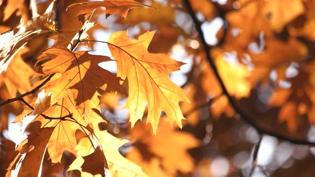 Golden Fall Oak Leaves Close Up.