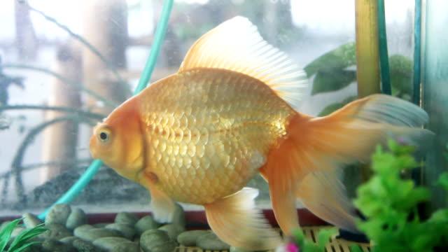vidéos et rushes de poisson d'or dans l'aquarium - nageoire caudale