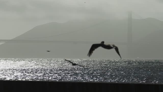 golden gate bridge mist Pelicans and Golden Gate Bridgein the San Francisco Bay pelican stock videos & royalty-free footage
