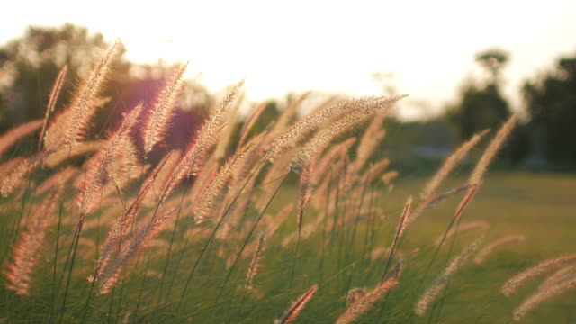 Golden grass field sunshine after sunset video