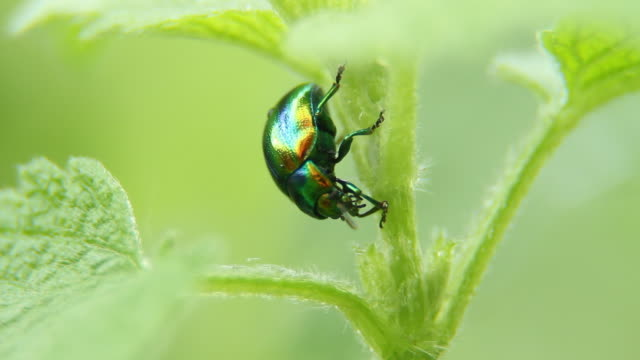 stockvideo's en b-roll-footage met golden green beetle - ongewerveld dier
