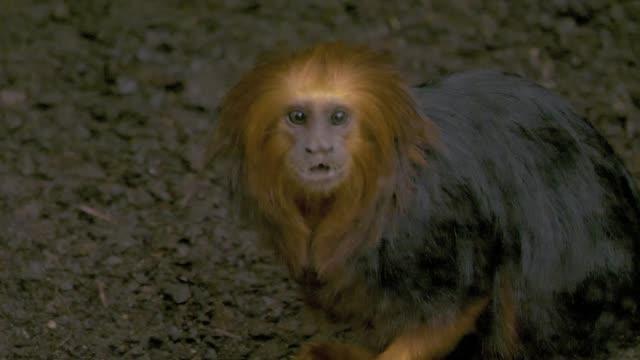 goldener löwe tamarin-affe essen lebensmittel aus dem boden - bedrohte tierart stock-videos und b-roll-filmmaterial