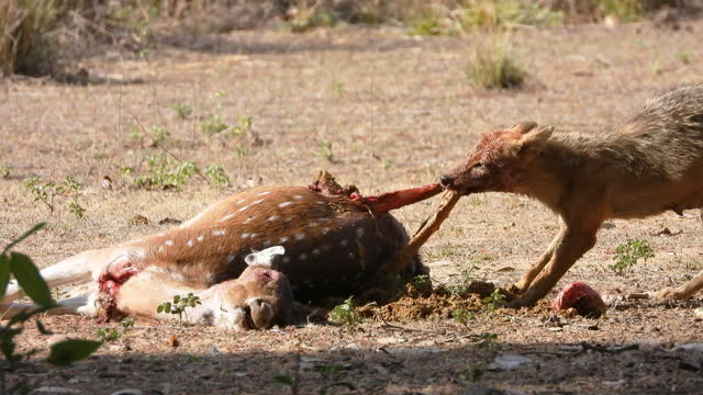 Golden Jackal feeding on a spotted deer in central India