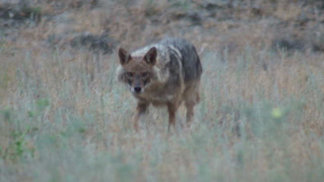 Golden jackal