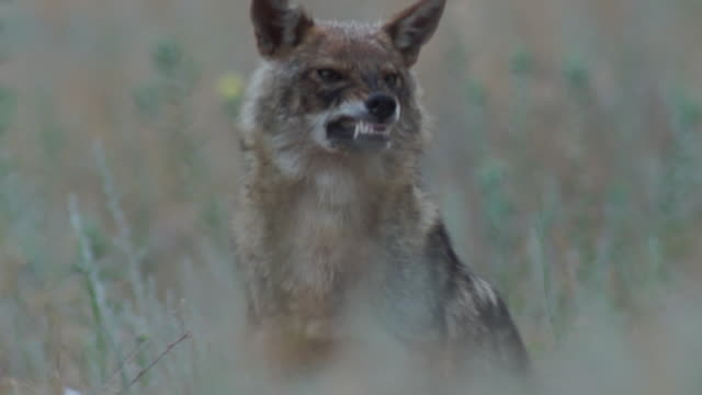 Golden jackal Golden jackal walks and looking for something to eat bird of prey stock videos & royalty-free footage