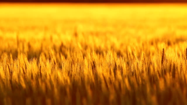 Golden Kansas Wheat Rack Focus video
