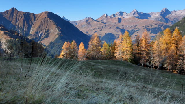 stockvideo's en b-roll-footage met golden larch trees on alp sax - rutte