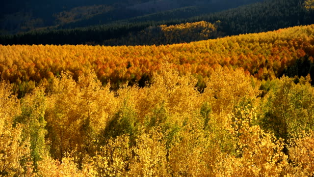 Golden Mountain Valley - A close-up Autumn sunset view of bright golden aspen grove shining in  a mountain valley at base of Sawatch Range. Twin Lakes, Leadville, Colorado, USA.