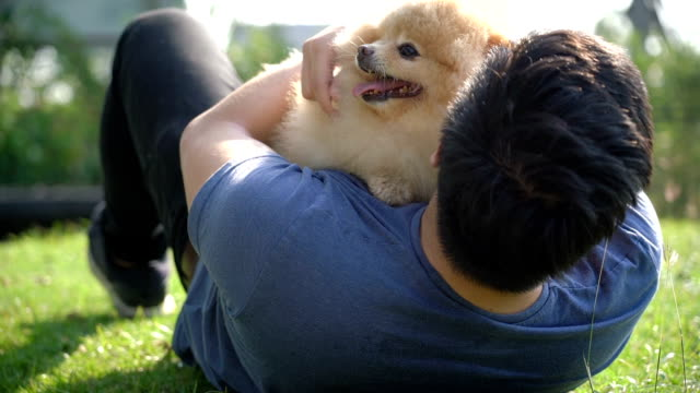 vídeos de stock e filmes b-roll de golden pomeranian cuddling up with owner asian man laying on grass in park in the summer - terreno