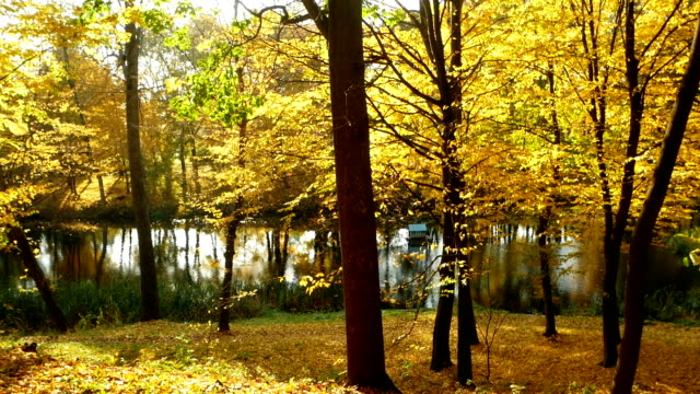 Golden red-tipped leaves flutter in the wind in an autumnal forest beside a lake video