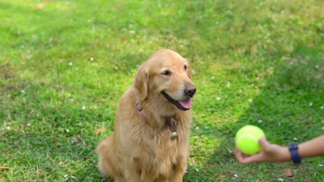 Golden Retriever chasing tennis ball on grass.
