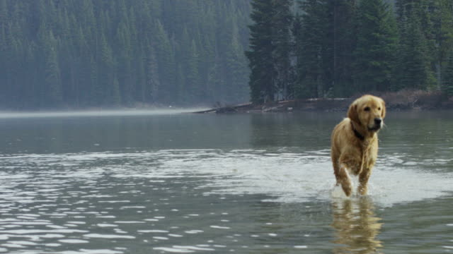 Golden Retriever dog playing in the water in slow motion video