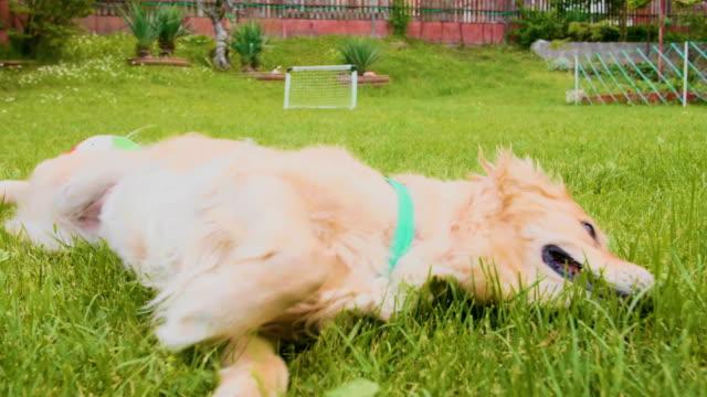 Golden retriever dog rolling in the grass