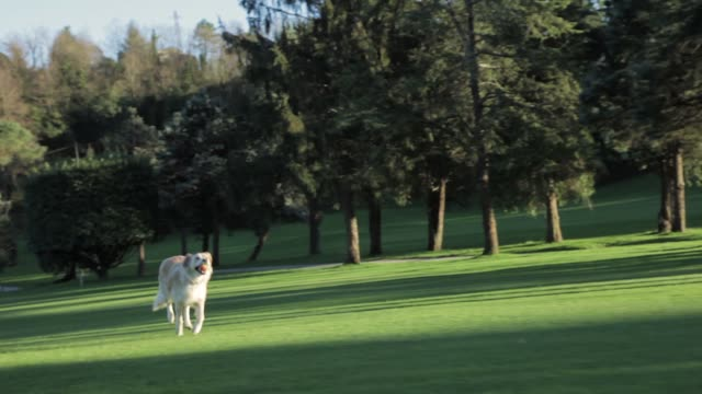 golden retriever dog running with a ball in a park - video