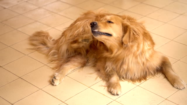 Golden Retriever Dog Scratching her itchy skin video