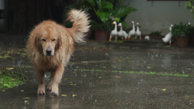 4K Golden retriever dog walking in the rain at home of front or back yard
