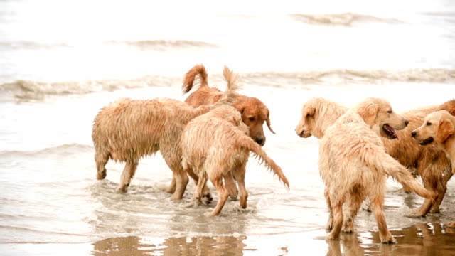 MONTAGE Golden Retriever Dogs