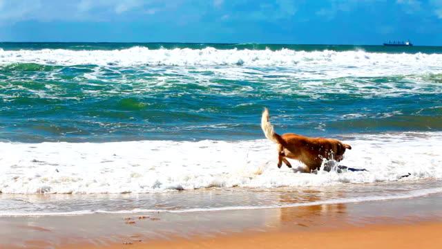 Golden retriever fetching stick on a beach video