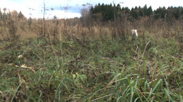 Golden Retriever hunting dog retrieves a pheasant from the high autumn grass. video