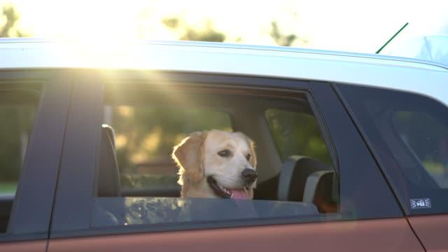 golden retriever blick aus autofenster - dog car stock-videos und b-roll-filmmaterial