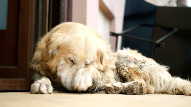 vídeos de stock e filmes b-roll de golden retriever napping on the floor - boca suja