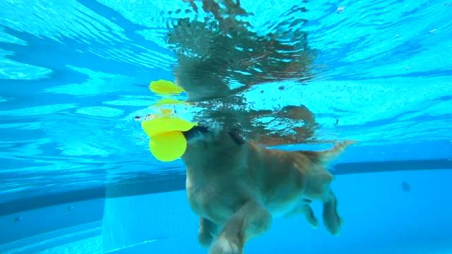 vídeos de stock e filmes b-roll de golden retriever puppy exercises in swimming pool (underwater view) - jump pool, swimmer