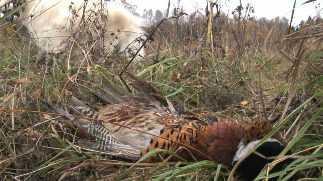 Golden Retriever purebred hunting dog retrieves a pheasant from the high autumn grass. video