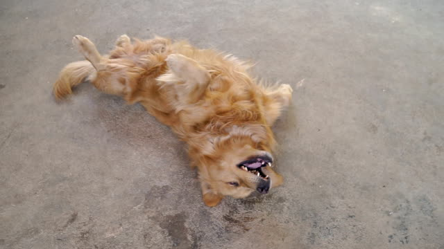 Golden Retriever scratching His Itchy Skin Golden Retriever lying on back and moving to scratching His Itchy Skin tail stock videos & royalty-free footage